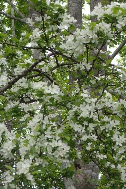 P5191292エゾノコリンゴ?1507 (440x660).jpg