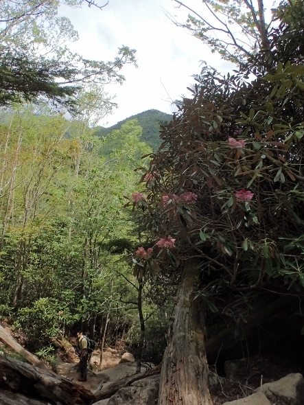 P6182024シャクナゲと飯盛山?1332 (443x590).jpg