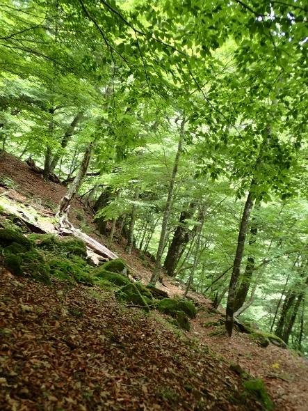 P7084063ブナ林の道 (443x590).jpg