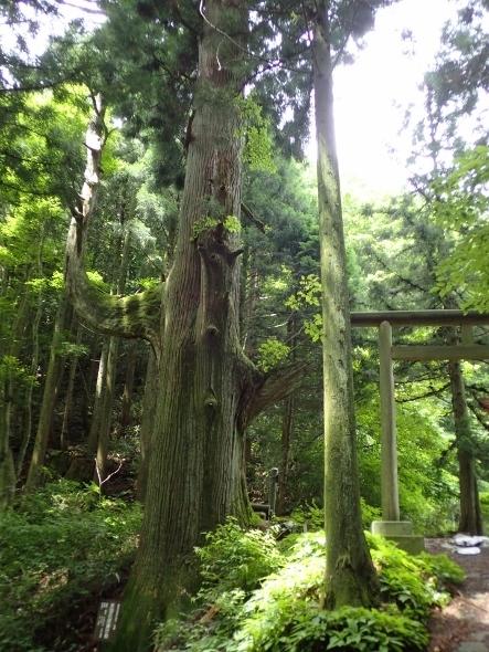 P7134409天狗の腰掛杉1041 (443x590).jpg