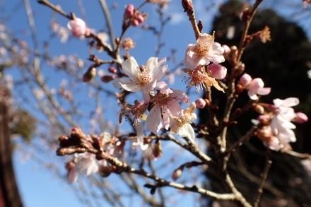 PC268887十月桜1130 (440x293).jpg